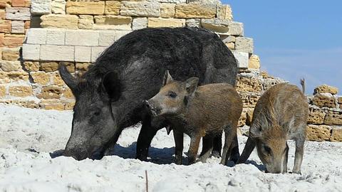 A wild boar and piglets drink fresh water on sandy coast in slo-mo Live Action