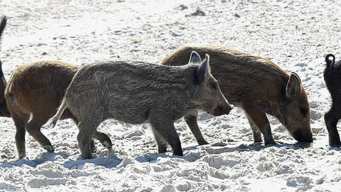 A covey of wild piglets entertain on a seacoast in slo-mo Footage