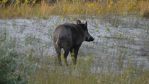 A small wild boar walks on the Black Sea coast in slo-mo Footage