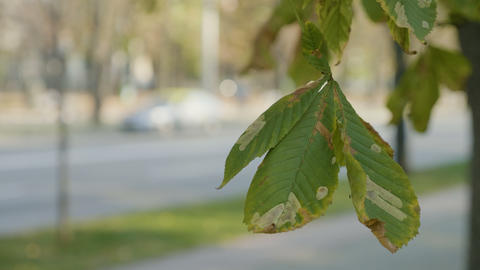 Wind slowly flattering a polluted chestnut tree leaf on autumn sunny day near a Footage