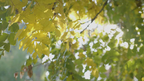 Bright rays of sunlight shining over yellow autumn leaves in city park and wind Footage
