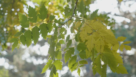 Tree branch with yellow leaves swaying in the wind and rays of sun shining on it Footage