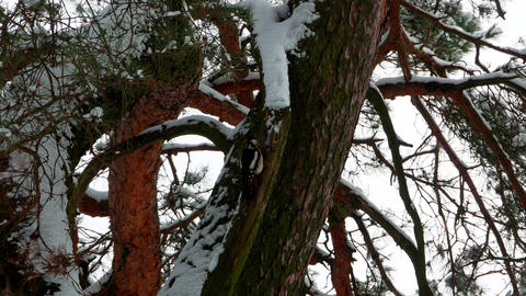woodpecker with colorful feathers sitting on a tree in winter forest 4k Footage