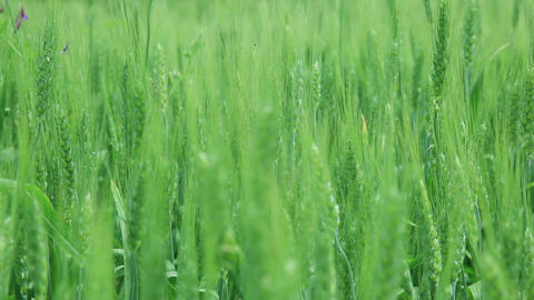 Young wheat moves from the wind