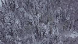 Frozen pine trees in woods Footage