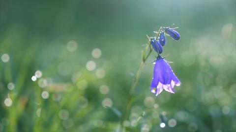 Bluebell flower blooming in morning dew in sun light on green meadow. Slow Footage