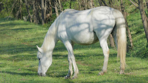Wild White Horse In The Early Morning Stock Video Footage