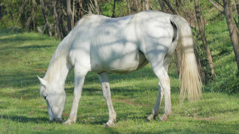 Wild White Horse In The Early Morning Footage