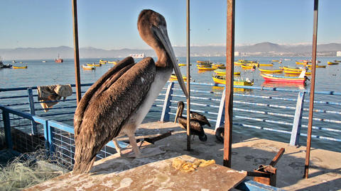 Pelican in Coquimbo, Chile Footage