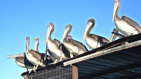 Pelicans on a Roof Footage