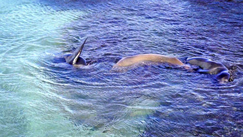 Three Sea Lions in Shallow Water Footage