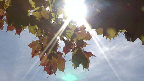 Autumn colourful leaves against the sunlight blowing in the autumn wind Footage