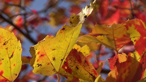 Colorful gold and red maple autumn leaves blowing in the wind Footage