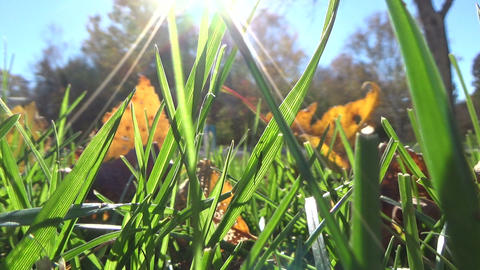 Fallen maple leaves on the green grass ground with sun flare in autumn Footage
