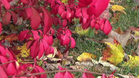 Autumn scenery with a red bush and gold fallen leaves Footage