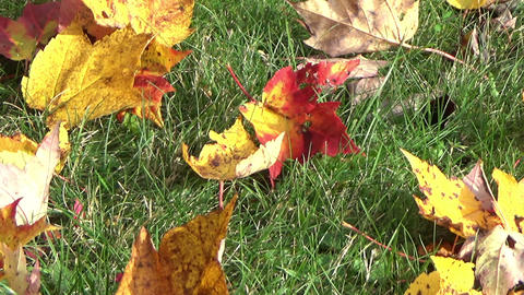 Fallen maple leaves on the green grass ground in autumn Footage