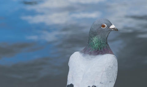Columbia Livia, the Rock Dove looking directly at the camera フォト
