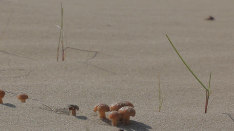 Bright mushrooms grow on dunes sand Footage