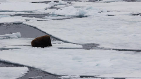 year-old walrus with short tusks lying on ice during icebreaker Live Action