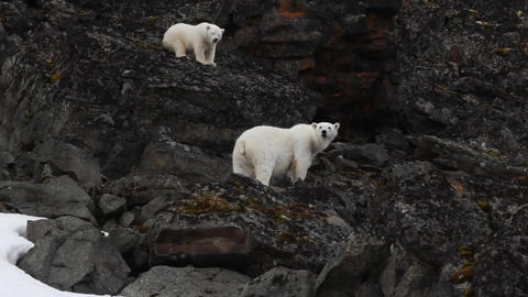 Polar bear female and cub climbed on rocks after meeting with man Footage