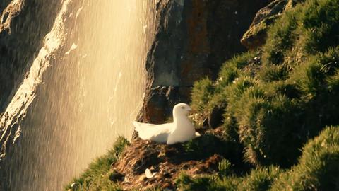 Glaucous gull (Larus hyperboreus) sitting on nest Footage
