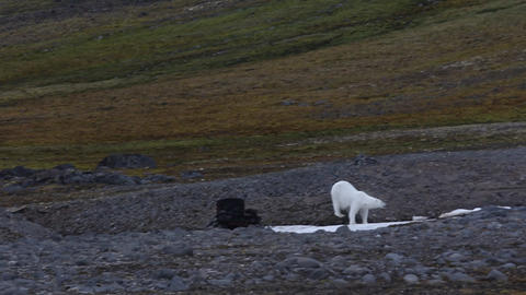 Polar bear on the Franz Josef Land Footage