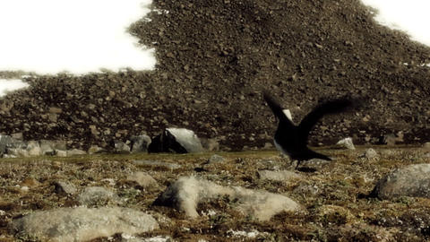 Arctic Skua at nest. Distraction behavior Footage