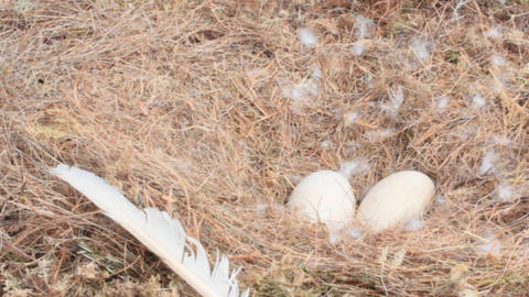 Laying eggs and nest of Whooper Swan Footage