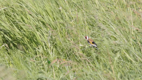 Bright Goldfinch in meadow Live Action