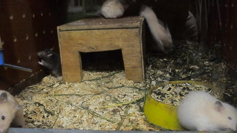 Grey and white rats in cage Live Action
