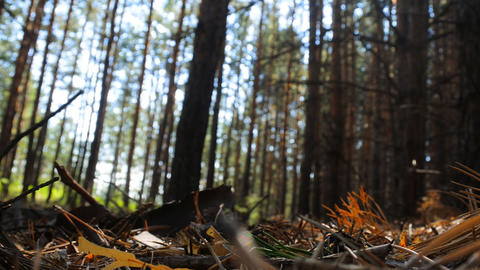 Pine forest, morning Footage