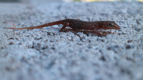 Gecko crawling on wall concrete Footage