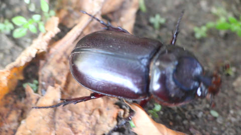 Rhinoceros beetle hiding in grass thickets Footage