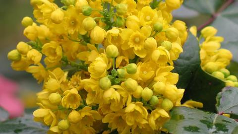 Detail yellow flowering shrubs mahonia - Mahonia aquifolium. Video blossom close Photo
