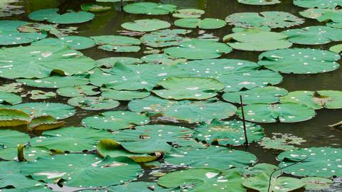 water lilies leaves Footage