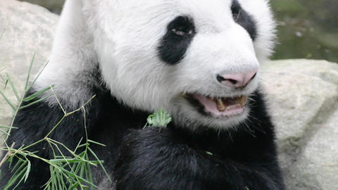 Panda enjoys eating bamboo leaves on poolside ビデオ