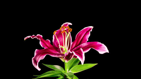 Time Lapse - Single Pink Oriental Lily Flower Blooming with Black Ground Footage