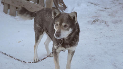 Kind a mongrel dog on chain Footage