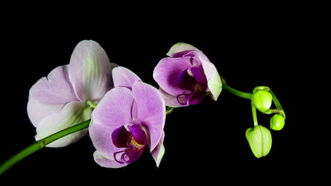 Time Lapse - Blooming Flower of Pink Phalaenopsis Orchid Footage