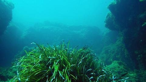 Green bush of neptune grass on deep sea bottom Footage