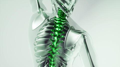Human Spine Skeleton Bones Model with Organs Live Action