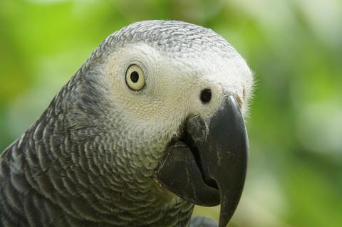 Grey Parrot, Psittacus erithacus フォト
