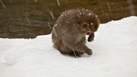 Japanese Snow Monkeys Looking For Food Footage