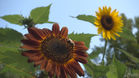 bee collects nectar from a sunflower Footage