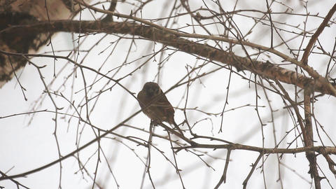 Sparrow sits on a branch 영상물