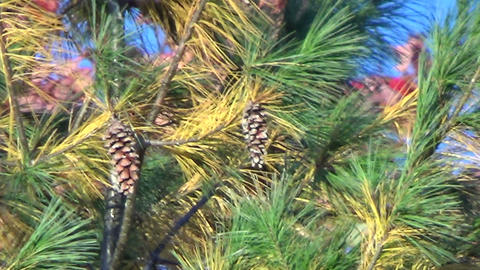 Branches of a coniferous tree blowing in the autumn wind Footage