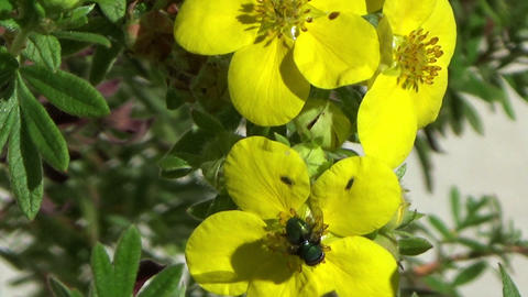 Fly insect on a yellow flower, shivering in the wind Footage