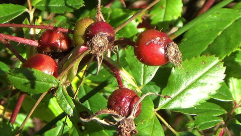 A green thorny bush of withered dried red wild berries in autumn in Canada Footage