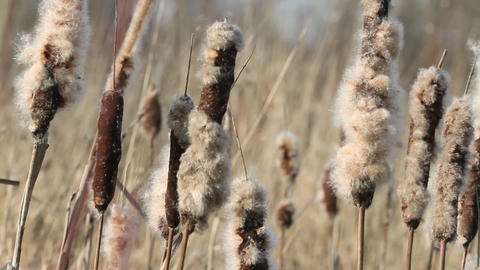 Dried Cattail Footage