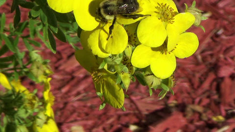 Bumblebee sucking nectar on a yellow flower Footage